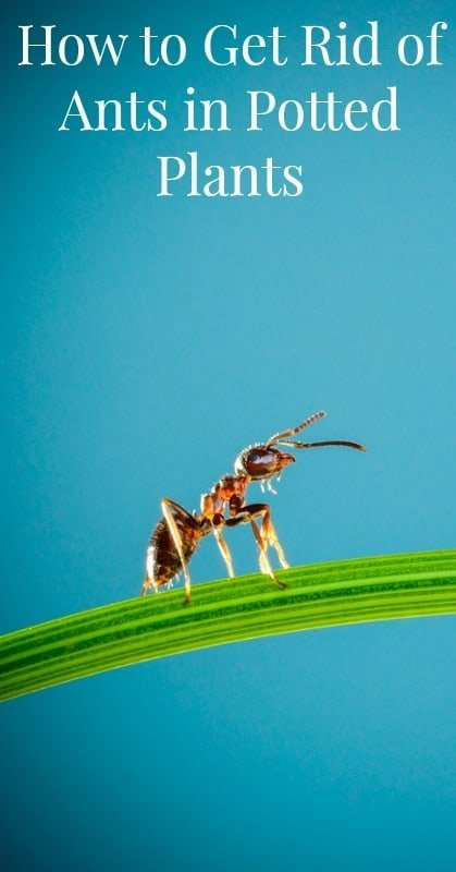 Get Rid Of Ants In Potted Plants