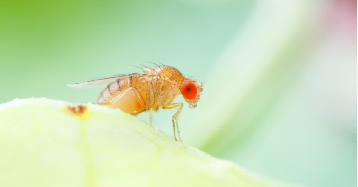 Kill Fruit Flies Fast