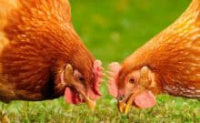 Don't Buy Eggs from Vegetarian Fed Hens